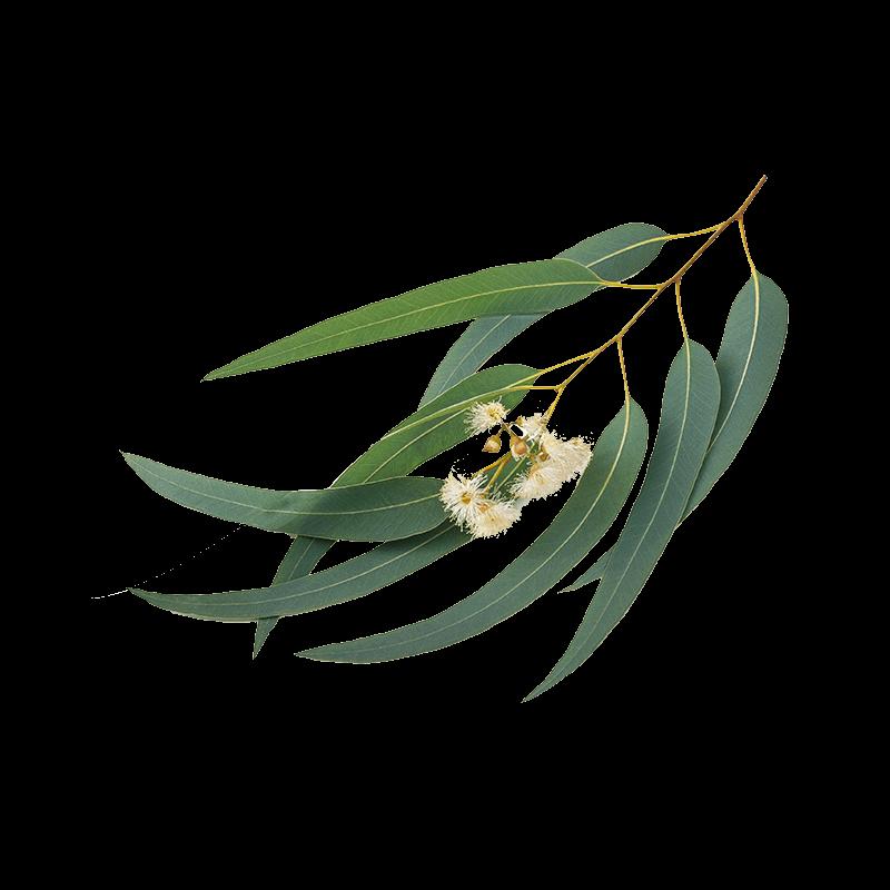 eucalyptus_2.png